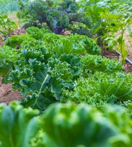lettuce-conniesktichen-mono