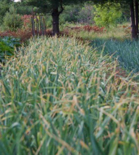 onion-field-connieskitchen.jpg