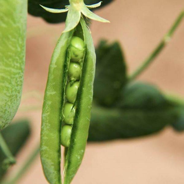 peas-connieskitchen.jpg