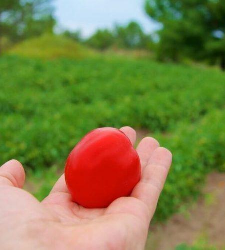 tomato-field-conieskitchen.jpg